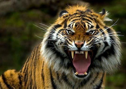 tigre333